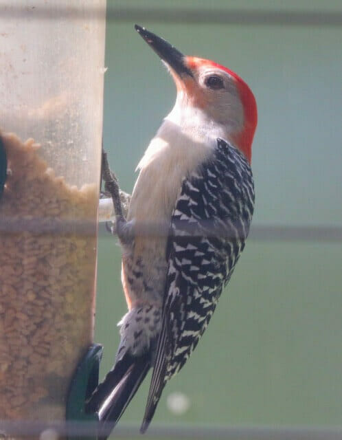 Red Bellied Woodpecker - photo by Mary Huffman