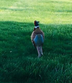 Pheasant - photo by Jule Allaman
