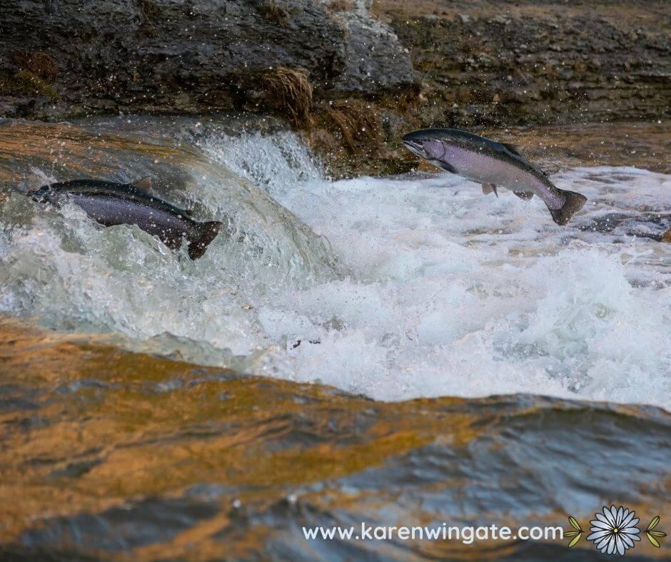 Salmon swimming upstream.